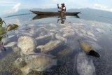Nelayan melihat ikan yang mati di tepi Danau Maninjau, Nagari Bayur, Kabupaten Agam, Sumatera Barat, Jumat (5/2/2021). Dinas Perikanan dan Ketahanan Pangan Kabupaten Agam mencatat sedikitnya 15 ton ikan Keramba Jaring Apung (KJA) ditemukan mati sejak empat hari terakhir akibat angin kencang melanda daerah tersebut. ANTARA FOTO/Iggoy el Fitra/wsj.