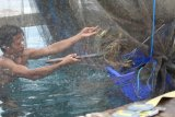 Jelang Imlek harga lobster Lampung naik