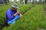 Pekerja merawat bibit pohon pinus di persemaian di Bagian Kesatuan Pemangkuan Hutan (BKPH) Sukosari, Kesatuan Pemangkuan Hutan (KPH) Perhutani Bondowoso, Jawa Timur, Rabu (10/2/2021). KPH Perhutani Bondowoso yang meliputi Kabupaten Situbondo dan Bondowoso mengembangankan persemaian bibit pohon, seperti suren atau surian, pinus, kopi, durian, pete, dan akasia. Antara Jatim/Seno/zk