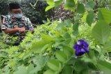 Warga merawat bunga telang (Clitoria ternatea) di Kelurahan Mojoroto, Kota Kediri, Jawa Timur, Selasa (9/2/2021). Bunga telang berwarna biru yang sebelumnya tumbuh liar tersebut mulai dibudidayakan warga karena permintaan yang cukup tinggi di pasaran untuk tanaman hias dan bahan baku minuman kesehatan. Antara Jatim/Prasetia Fauzani/ZK