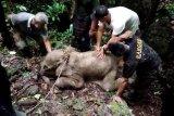 BKSDA Aceh evakuasi seekor bayi gajah terjebak di kubangan lumpur