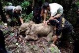Bayi gajah terjebak di kubangan lumpur berhasil dievakuasi