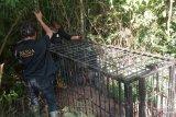 BKSDA pasang dua perangkap evakuasi beruang madu di Kelok 44 (Video)
