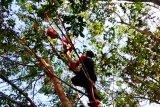 Begini perjuangan tim BKSDA evakuasi induk dan anak orangutan di Kotim