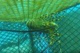 KKP lepasliarkan 147.383 benih lobster di Sungai Pisang, Padang