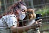 Seorang karyawan dengan mengenakan masker berswafoto dengan seekor bekantan betina bernama Melani di Faunaland, Ancol, Jakarta, Jumat (12/2/2021). Pengelola Taman Impian Jaya Ancol mencatat total sebanyak 10.700 orang yang berkunjung untuk memanfaatkan libur tahun baru Imlek. ANTARA FOTO/M Risyal Hidayat/wsj.