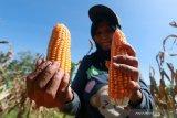 Petani Solok Selatan keluhkan sulitnya mendapat pupuk subsidi, jagung yang paling terimbas