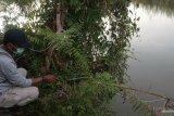 BKSDA pasang jerat untuk tangkap buaya serang warga Agam (Video)