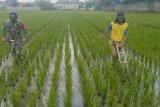 Pemprov Lampung targetkan produksi padi 3 juta ton