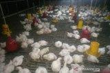 Wahidan (38) salah satu peternak ayam potong Desa Rukam, Kabupaten Bangka, Provinsi Kepulauan Bangka Belitung saat memanen ayam potong di kandang miliknya pada Selasa (16/2). Saat ini harga ayam potong ditingkat peternak mengalami penurunan Rp5.000 dari sebelumnya Rp25.000 menjadi Rp20.000 per kilonya.