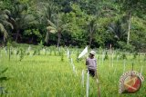 Dinas Pertanian wujudkan daerah swasembada pangan