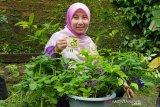 Menanam pangan di rumah berarti menanam obat