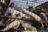 Petugas membawa barang bukti burung Kakatua Maluku (Cacatua Moluccensis) saat ungkap kasus perdagangan satwa dilindungi di Polda Jawa Timur, Surabaya, Jawa Timur, Rabu (17/2/2021). Subdit IV Tipidter Direktorat Reserse Kriminal Khusus (Ditreskrimsus) Polda Jawa Timur menangkap tiga tersangka NR (26), VPE (29) dan NK (21) atas kasus dugaan memperdagangkan satwa dilindungi serta mengamankan sejumlah barang bukti satwa burung Kakatua Maluku (Cacatua Moluccensis), burung Elang Brontok (Nisaetus Cirrhatus), burung Elang Jawa (Nisaetus Bartelsi) dan Lutung Budeng (Trachypithecus Auratus). Antara Jatim/Didik/Zk