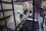 Sejumlah burung Kakatua Maluku (Cacatua Moluccensis) yang merupakan barang bukti berada dalam sangkar saat ungkap kasus perdagangan satwa dilindungi di Polda Jawa Timur, Surabaya, Jawa Timur, Rabu (17/2/2021).  Subdit IV Tipidter Direktorat Reserse Kriminal Khusus (Ditreskrimsus) Polda Jawa Timur menangkap tiga tersangka NR (26), VPE (29) dan NK (21) atas kasus dugaan memperdagangkan satwa dilindungi serta mengamankan sejumlah barang bukti satwa burung Kakatua Maluku (Cacatua Moluccensis), burung Elang Brontok (Nisaetus Cirrhatus), burung Elang Jawa (Nisaetus Bartelsi) dan Lutung Budeng (Trachypithecus Auratus). Antara Jatim/Didik/Zk