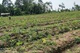 Petani Lebak Banten kembangkan tanaman porang karena permintaan ekspor tinggi