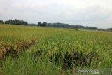 Dispertan dorong asuransi tanaman padi antisipasi cuaca ekstrem