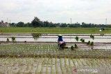 Cuaca ekstrem tak berdampak signifikan bagi pertanian di Boyolali