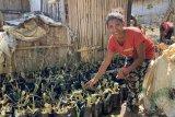 Pemprov NTT, KLHK, Yayasan Bambu Lestari lakukan pelestarian bambu di Pulau Flores libatkan 196 perempuan