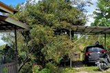 Warga Gumas diimbau pangkas pohon rawan tumbang
