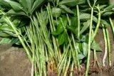 Sulawesi Selatan siapkan tanaman porang berkualitas untuk ekspor ke China