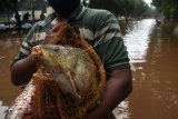 Warga memperlihatkan ikan yang didapat dari menjala di ruas Tol TB Simatupang, Jakarta Selatan, Sabtu (20/2/2021). Warga memanfaatkan kesempatan menjala ikan di tengah arus banjir yang turut menghanyutkan berbagai jenis ikan di sekitar lokasi tersebut. ANTARA FOTO/Indrianto Eko Suwarso/hp.