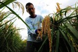 Petani memeriksa bulir padi