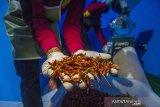 Pekerja menyelesaikan pembuatan abon cabai hiyung di Rumah Produksi Cabai Hiyung, Desa Hiyung, Kabupaten Tapin, Kalimantan Selatan, Selasa (23/2/2021). Kelompok Tani Karya Baru mampu memproduksi sebanyak 300 botol abon cabai hiyung yang diklaim 17 kali lebih pedas dari cabai biasa dan dipasarkan ke beberapa daerah dan siap merambah ke pasar Spanyol. Foto Antaranews Kalsel/Bayu Pratama S.