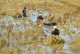 Ribuan Hektare Tanaman Padi Puso Akibat Terendam Banjir