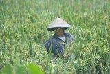 Sumatera Selatan target produksi 3,1 juta ton GKG tahun 2021