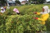 Buruh tani memanen cabai di area persawahan Desa Paron, Kediri, Jawa Timur, Rabu (24/2/2021). Tiga hari terakhir harga jual cabai rawit merah di tingkat petani terus mengalami kenaikan dari sebelumnya Rp80 ribu menjadi Rp90 ribu per kilogram akibat terbatasnya pasokan di pasaran karena belum memasuki musim panen raya. Antara Jatim/Prasetia Fauzani/zk
