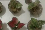 Tak lunasi pembelian bunga aglonema, pedagang rugi Rp16 juta