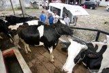 Petugas kesehatan hewan mengecek kesehatan sapi perah di Sumber Buluh, Songgon, Banyuwangi, Jawa Timur, Kamis (25/2/2021). Pengusaha sapi perah mengaku dari 30 sapi yang produtif mampu menghasilkan 450 liter susu per hari  yang dijual ke industri pengolahan susu dengan harga Rp6.500 per liter. Antara Jatim/Budi Candra Setya/zk.