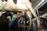 Pekerja memeras susu sapi perah di Sumber Buluh, Songgon, Banyuwangi, Jawa Timur, Kamis (25/2/2021). Pengusaha sapi perah mengaku dari 30 sapi yang produtif mampu menghasilkan 450 liter susu per hari  yang dijual ke industri pengolahan susu dengan harga Rp6.500 per liter. Antara Jatim/Budi Candra Setya/zk.