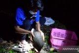 Dapat di Pasaman Barat, trenggiling dilepasliar dalam CA Maninjau Agam (Video)