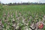 Sekitar 800 hektare sawah di Aceh Besar alami kekeringan