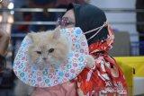 Peserta membawa kucing jenis ras campuran saat mengikuti  kontes kucing pada kegiatan The Hobbies Sparkling and Charming Cat in Town di Banda Aceh, Minggu (28/2/2021). Kegiatan kontes kucing yang diikuti sejumlah peserta cat show kelas domestik dan cat show kelas ras murni (all breed) itu bertujuan mewujudkan kota Banda Aceh sebagai kota gemilang yang  ramah kucing dan peduli terhadap kesehatan hewan peliharaan lainnya. ANTARA FOTO/Ampelsa.