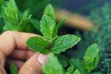 Sederet manfaat daun mint, pereda stres hingga obati asma