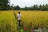 Produksi padi di Agam meningkat 16.531 ton selama 2020