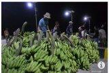 Produksi pisang di Tanggamus capai 10 ton per hektare