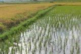 Luas panen padi di Sulut turun 0,31 persen