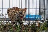 Warga kembali temukan kucing hutan masuk perkampungan