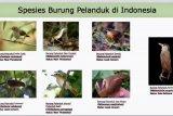 Burung Pelanduk Kalimantan ditemukan setelah 172 tahun