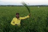 Luas panen padi Januari-April di NTT diperkirakan mencapai 81,6 ribu ha