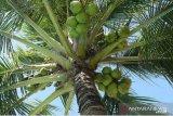 Produk turunan kelapa jadi primadona ekspor Sulawesi Utara