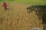 Petani memperlihat tanaman padi berumur sekitar dua bulan mati akibat kekeringan di desa Glee Jay, Kecamatan Kuta Cut Glie, Kabupaten Aceh Besar, Aceh, Selasa (2/3/2021). Sekitar 800 hektare tanaman padi berumur sekitar dua bulan di daerah itu gagal panen akibat kekeringan pada musim kemarau, sedangkan sebagian areal tanaman padi lainnya masih dapat diselematkan dengan memasok air dengan mobil tangki dan selain memompakan air sungai ke lahan sawah menggunakan pipa sepanjang satu kilometer. ANTARA FOTO/Ampelsa.