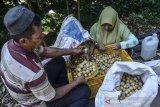 Petani mengumpulkan duku hasil panen di Kertasari, Kabupaten Ciamis, Jawa Barat, Rabu (3/5/2021). Menurut petani  harga duku ditingkat petani turun menjadi Rp10.000 per klilogram dari biasanya Rp12.500 per kilogram. ANTARA JABAR/Adeng Bustomi/agr
