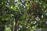 Petani memanjat pohon duku untuk dipanen di Kertasari, Kabupaten Ciamis, Jawa Barat, Rabu (3/5/2021). Menurut petani  harga duku ditingkat petani turun menjadi Rp10.000 per klilogram dari biasanya Rp12.500 per kilogram. ANTARA JABAR/Adeng Bustomi/agr