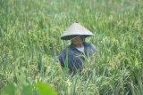Kampung Tangguh COVID-19 di Muba amankan cadangan  pangan nasional