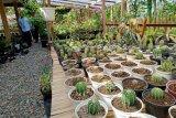 Tanaman kaktus di Bonjol Pasaman banyak diekspor