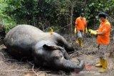 Wah, gajah liar ditemukan mati di Aceh Jaya